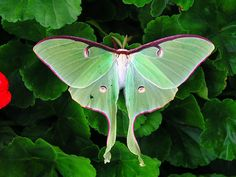 While not a butterfly - Luna moth Actias luna belongs here.  They are a magical sight to behold!