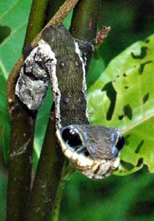 http://www.whatsthatbug.com/2008/06/30/snake-mimic-hemeroplanes-triptolemus/