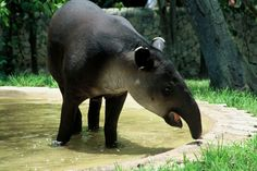 Did you know that tapir its called Tzimín in mayan?