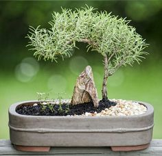 Bonsai Tree Ideas A Guide To Bonsai Trees For Beginners Bonsai Tree Ideas. The art form of bonsai can be a wonderful and unique hobby. Viewing and taking good care of a bonsai collection can be a r… Mame Bonsai, Garden Terrarium, Bonsai Garden, Succulents Garden, Terrariums, Bonsai Tree Care, Indoor Bonsai Tree, Bonsai Trees, Plantas Bonsai