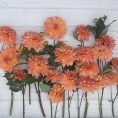 Dahlia Nicholas - Floret Flowers