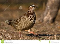 Photo about Crested Francolin walking on ground in Dube private reserve. Image of habitat, game, crested - 11288397 South African Birds, Habitats, Game, Photography, Photograph, Fotografie, Gaming, Photoshoot, Toy