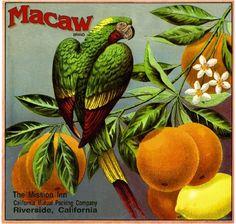 Riverside Mission Inn Macaw Parrot Orange Citrus Fruit Crate Box Label Art Print | eBay