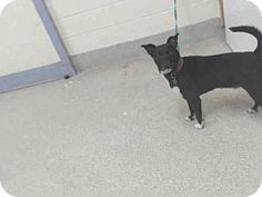 12/31 RIP, Joshua 12/29 HIGH KILL SHELTER! PLEASE SAVE LITTLE JOSHUA! 12/27 SUPER URGENT! 12/22 SAVE JOSHUA! He's a Rat Terrier Mix for adoption in Tavares, FL who needs a loving home. PLEASE DON'T LET HIM DIE BECAUSE LCAS DOESN'T KNOW HOW TO POST GOOD PHOTOS!