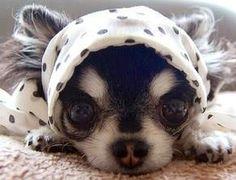 Chihuahua cutie- www.Dada-Dog.com