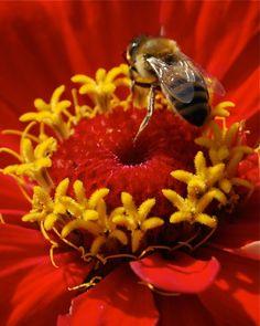 honeybee on a red flower