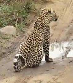 """Xivambalana by a patch of water, 2011--and notice his """"cheerio"""" tail curl. Djuma Private Game Reserve, Screen Capture by Ann M. Del Tredici."""