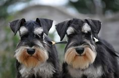What's better than a Schnauzer? TWO Schnauzers!!
