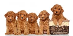 Poodle Breeder is one of the most popular dog breeds in the world. Find the perfect Toy Poodle Puppies for Sale. We have males and females Teacup / Toy Poodle Puppies for Sale. Red Poodle Puppy, Teacup Poodle Puppies, Teacup Poodles, Toy Poodles, Dog Boarding Near Me, Pet Boarding, Poodle Dogs For Sale, Golden Doodle Dog, Dog Tags Military