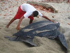 Siempre Verde Venezuela: Comunidades rurales monitorean tortugas marinas en Paria