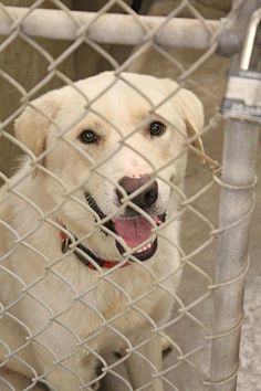 08/31/14 ~ODESSA URGENT~Please get him out before the long weekend. He is gorgeous and super super sweet. He wants a forever home of his own.~Pyrenees/lab mix no card yet ~Kennel A13 *$51 to adopt. Located at Odessa, Texas Animal Control. Must have a valid Drivers License and utility bill with matching address to adopt. They accept Credit Cards, cash or checks.Please send us a PM if we can answer any questions for you.
