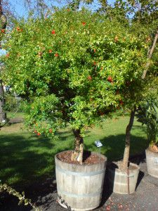 How to plant a Pomegranate tree in a planter.