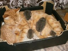 cat with adopted hedgie hoglets, via cute overload