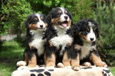 JSPuzzles - puzzles en línea - Three Bernese Mountain Dog Puppies