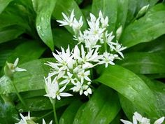 Wild garlic - add to mashed potato or make pesto... Or steam with spinach, add to stir-fries. Hedgerow food for free!