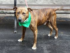 GONE RIP 8/14/13 Manhattan REAGAN - A0973832 *** SAFER: AVERAGE HOME ***  MALE BRINDLE/WHITE PIT BULL MIX 1yr/7mos Reagan is a low key little guy, quite friendly and who likes to come on the lap for kisses and hugs. A no fuss dog who will make and excellent and loving forever companion, given a chance. Reagan is at the Manhattan Care Center, waiting to be your friend. Reagan is an AVERAGE-rated, young and STUNNING guy. Scoop him up before the clock strikes 12:00!