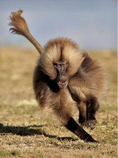 Male Gelada Baboon (Theropithecus gelada), or Bleeding Heart baboon, charging to take care of business.