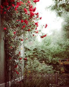 Back Yard - fine art photo print nature red roses blossom botanical green plants garden