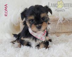 #Morkie #Charming #PinterestPuppies #PuppiesOfPinterest #Puppy #Puppies #Pups #Pup #Funloving #Sweet #PuppyLove #Cute #Cuddly #Adorable #ForTheLoveOfADog #MansBestFriend #Animals #Dog #Pet #Pets #ChildrenFriendly #PuppyandChildren #ChildandPuppy #LancasterPuppies www.LancasterPuppies.com Pet Transport Service, Morkie Puppies For Sale, Lancaster Puppies, Animals Dog, Mans Best Friend, Puppy Love, Pets, Children, Sweet