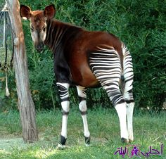 The Okapi may look like the result of a horse and a zebra mating, but in actual fact, this species is closely related to the giraffe family - not the zebra family! The Okapi is native to the Democratic Republic of the Congo in Central Africa, Bizarre Animals, Unusual Animals, Rare Animals, Funny Animals, Odd Animals, Zebras, Beautiful Creatures, Animals Beautiful, Mon Zoo