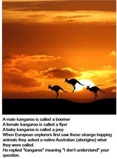 Sunset in Australia, with #Kangaroos in the Skyline