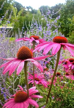Coneflower is a beautiful late flower perennial with showy pink flowers. Its very hardy and low maintenance. This is a great addition to your garden…mix it with blues and whites. Coneflower is a beautiful lat Flower Landscape, Landscape Design, Garden Design, Beautiful Gardens, Beautiful Flowers, Beautiful Beautiful, Beautiful Pictures, Invasive Plants, Front Yard Design