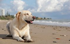 """Labrador retrievers, or """"Labs"""" as they've become fondly known, are one of the most popular dog breeds of our time. Labrador Retrievers, Golden Retriever, Dog Best Friend, Dog Friends, Jack Russell Terrier, Game Mode, Cute Dogs Images, Most Popular Dog Breeds, Dog Beach"""