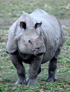 A magnificent Indian Rhinoceros in Kaziranga National Park