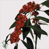 Euphorbia Red! #Flowers #Seasonal #Wholesale #Euphorbia