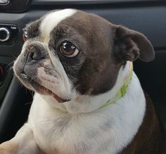 Boston Terrier dog for Adoption in Plano, TX. ADN-674581 on PuppyFinder.com Gender: Female. Age: Adult