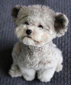 "I wonder if this doggy is real? Previous pinner says, ""Fuzzy Muppet Puppy."" It was saved under a dog toy hub board (leading me to think it is a toy). It's very difficult to tell if it's real or not, as it's very life-like, even with the rounded, teddy-bear ears. He's actually too cute to be real!"