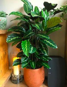 Best Indoor Plants, Outdoor Plants, Indoor Garden, House Plants Decor, Plant Decor, Planting Succulents, Planting Flowers, Calathea Plant, Plants Are Friends