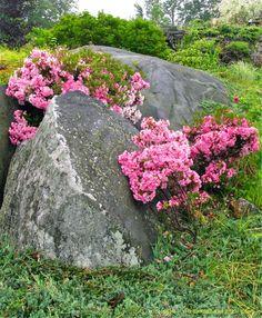 untain laurel (Kalmia latifolia, 'Pink Charm') in a naturalistic planting between boulders…