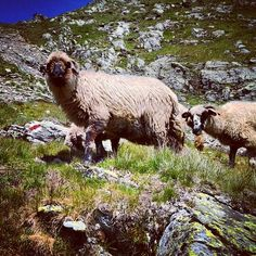 The transhumance -  unique experiences in Romania  The sheep's way up along Arges River, years of history and traditions  Www.pure-romania.com   #Transhumance #romania #pureromania #sheep #history #traditions #argesriver #traveling #travel #lonelyplanet