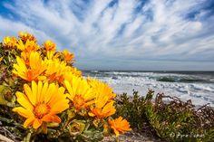 Yellow Namaqua daisies flowering along the Namaqua National Park's coastline. Golden Coast, Senior Trip, Live, Trees To Plant, Art Boards, West Coast, Wild Flowers, South Africa, Landscape Photography