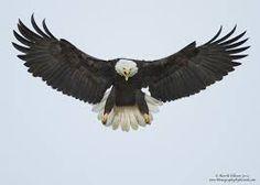 Afbeeldingsresultaat voor eagle wings spread tattoo