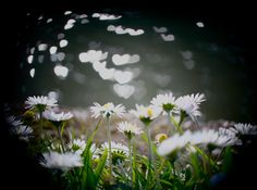 Bokeh Heart Photography With Daisy Flowers. Bokeh Hearts Are From Sunlight Reflection In The Water.