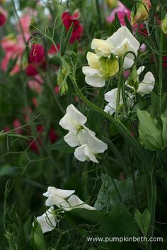 If you enjoy cut flowers, I am sure you'll enjoy growing Sweet Peas. I enjoy the Sweet Pea's pretty flowers and delicious fragrance each summer. Sweet Peas are easy to grow, annual climbers.