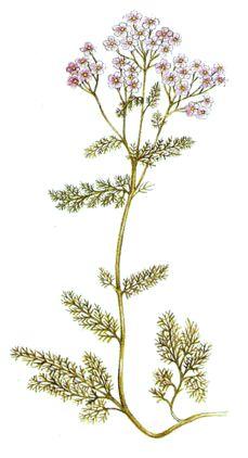 Operagastro > Ricette coi fiori: Vino all'achillea.