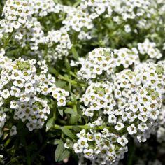 North Face - Alyssum | Floranova
