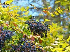 Oregon Grape | Mahonia Mélange by Green Dean
