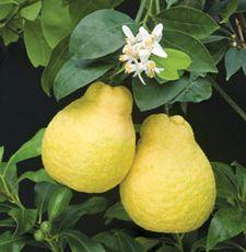 Ujikitsu citrus is a cross between an orange and a lemon