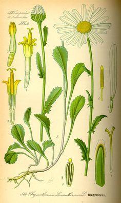 Chrysanthemum leucanthemum. Flora von Deutschland Österreich und der Schweiz (1885).