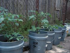 Container planting vegetables is not a new concept, but what about using buckets for growing vegetables? Yes, buckets. Read this article to learn more about how to grow vegetables in a bucket.