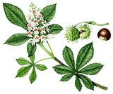 Watercolour illustration of horse chestnut flower, fruit and leaf (Aesculus hippocastanum)