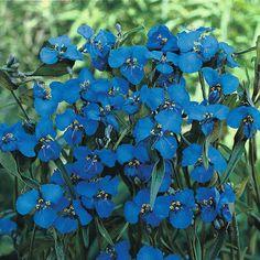 Commelina dianthifolia - Perennial & Biennial Seeds - Thompson & Morgan