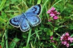 Blue Butterflies and a Tale of Two Ants - HollerPhenology   http://tennesseehawk.typepad.com/hollerphenology/2012/03/blue-butterflies-and-ants.html