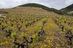 Miloš vineyards on Pelješac, #Croatia #wine