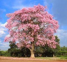 Vamos ver alguns bons exemplos de árvores floridas para seu jardim    Chuva-de-ouro brasileira - Cassia ferruginea     Árvore ornamental na...