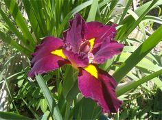 Another beautiful water iris!